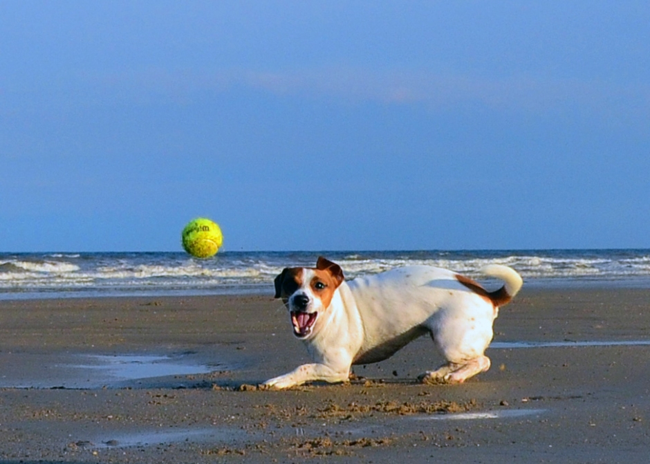 Jack_Russell_Terrier_Lola_at_the_Beach